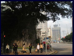 Huge tree at Salisbury Road/Canton Road, Tsim Sha Tsui.